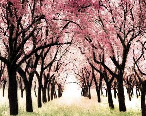 Gorgeous Cherry Blossom Trees Nature Photography Pink Trees Blossom Trees