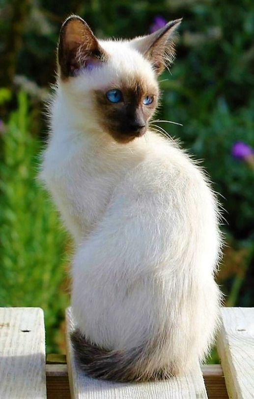 My Sister Has A Kitten Like This But A Little Different With Images Siamese Kittens