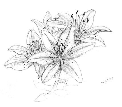 Lily Flowers Drawings Pencil Flower Drawing Flower Pattern