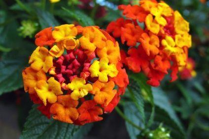 How To Transplant Lantana Ehow Lantana Orange Flower Names Flowers