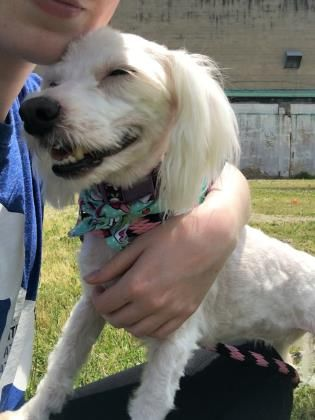 Adopt Betty White A Lovely Female 9y 1m Poodle Standard Mix