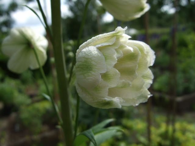 Delphinium 'Green Twist'