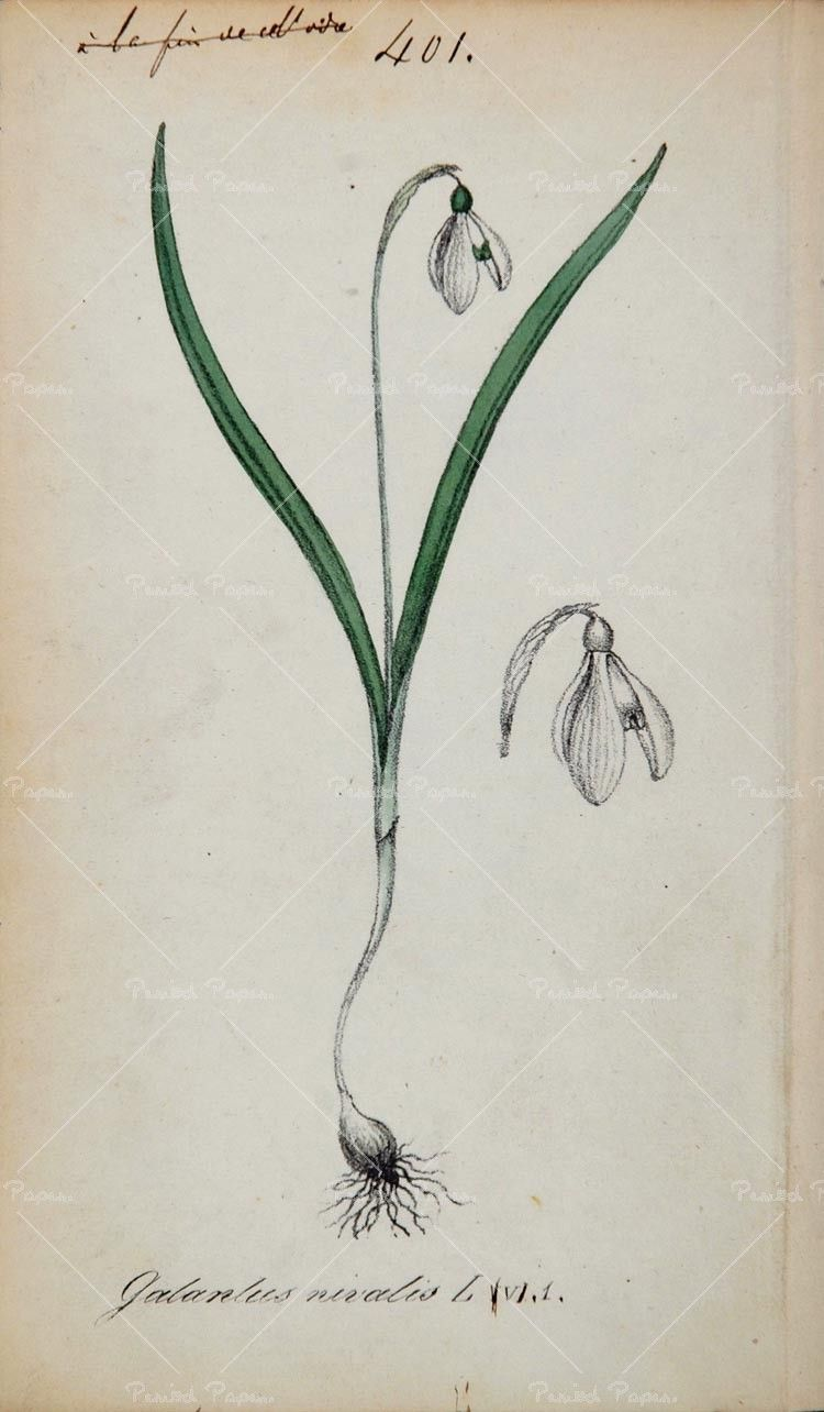 Snowdrop Flower Flower Drawing Botanical Prints Flower Tattoo Designs