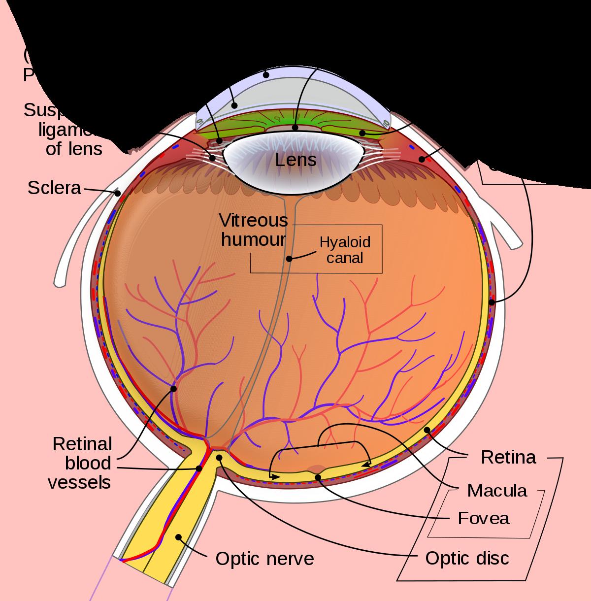 Eye Types (bio) - Wikipedia | Med | Pinterest | Anatomía, Resumen y ...