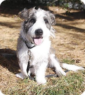 Edgewater, NJ - Wirehaired Fox Terrier Mix. Meet Bonnie, a dog for ...