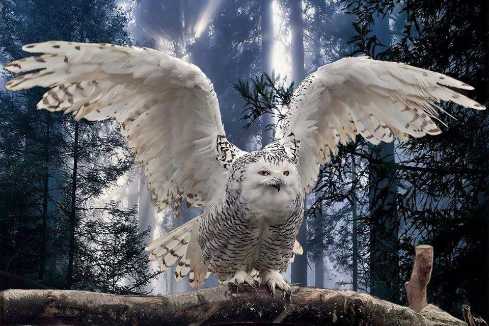 Pin by Karen Dettman on things i love 1 Beautiful owl