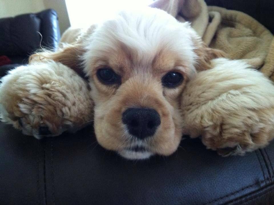 Cocker Spaniel dog art portraits, photographs, information