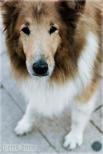 Lasie Dogs Animals Collie