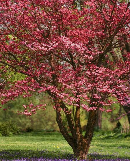 Red Dogwood Tree Red Pink Blossoms In Spring Red Leaves In Fall Arbustos Floridos Arbustos Arvores Floridas