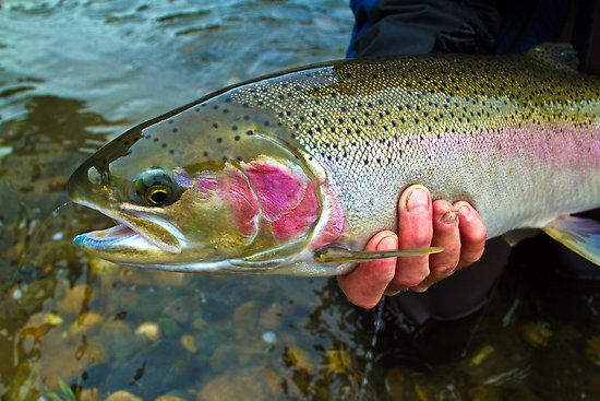 It's steelhead season!  Here is an example of Idaho steelhead - caught in the North Fork! (click through for photographer credit)