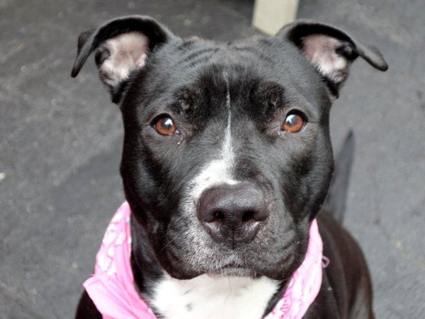 SAFE!! TO BE DESTROYED 04/14/15 – PEAR – A1031812 – MANHATTAN, NY -P- I am a female black and white american staff mix. The shelter thinks I am about 3 YEARS old. I came in the shelter as a STRAY on 03/31/2015 from NY 10029, owner surrender reason stated was STRAY. I came in with Group/Litter #K15-008553.