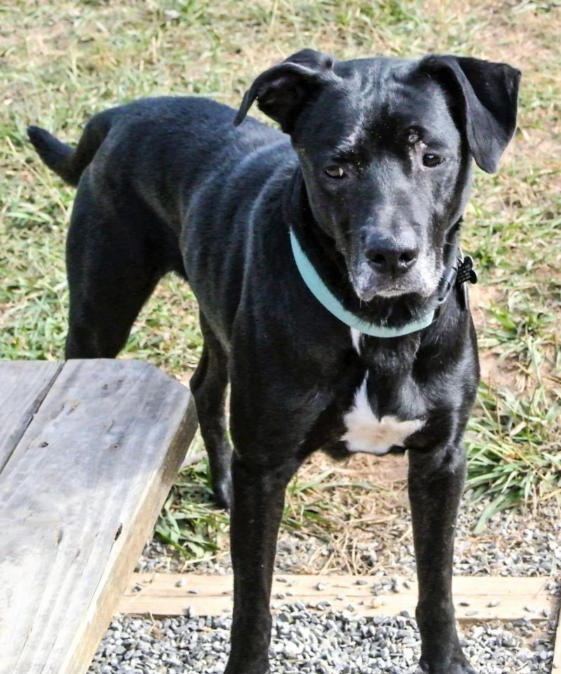 Adopt Astro On Black Labrador Retriever Black Labrador