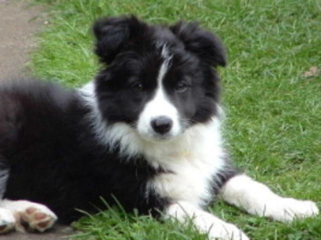 Pin By J Cardy On Oh My Goodness Collie Border Collie Puppies Border Collie