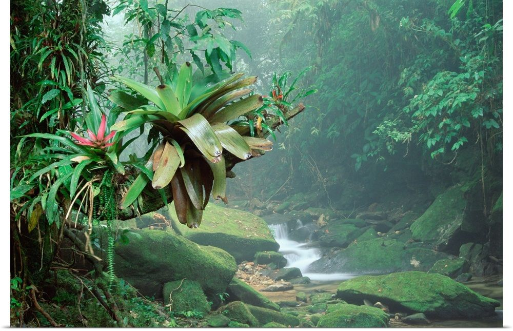 Buyer is advised that sale will require multiple signatures of all the benficiaries. Bromeliads Growing Along Stream In Bocaina National Park Atlantic Forest Brazil Brazil Rainforest Rainforest Tropical Rainforest