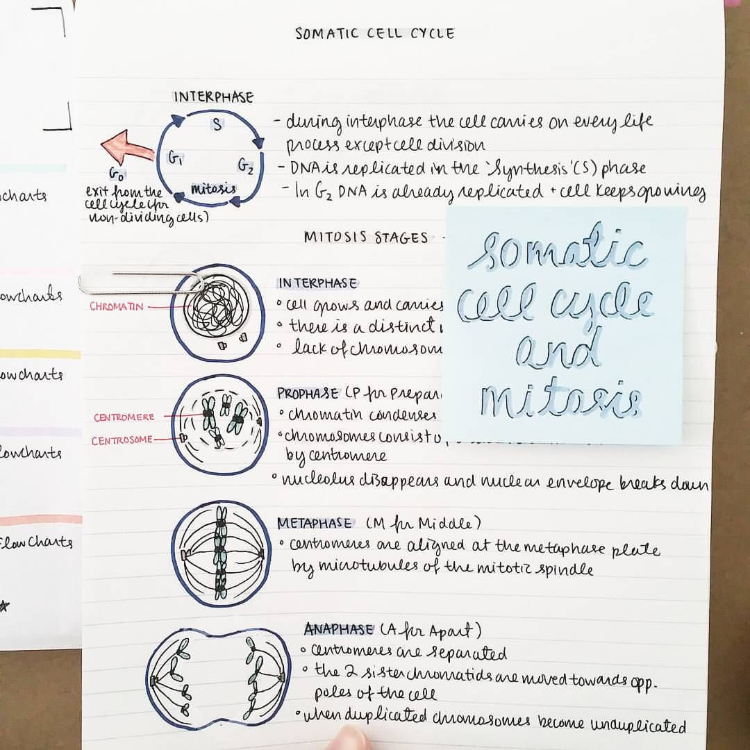 Mitosis Review Worksheet