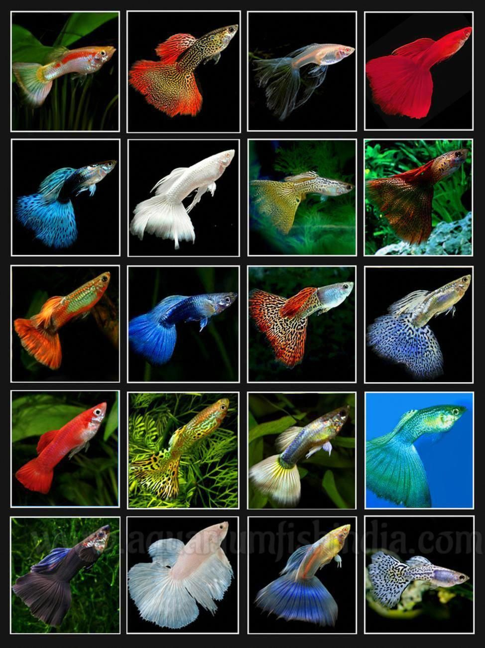 Imported Guppies For Sale Online India Imported Aquarium Fish Aquarium Online Shopping India Best Tropical Fish Tanks Aquarium Fish Tropical Freshwater Fish