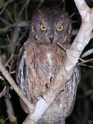 West Maagascar scops owl, (Otus madagascarensis)