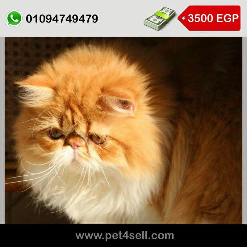 قط بيرشن اهالي مستوردة من روسيا كامل تطعيمات عمر 6 شهور القاهرة Pet4sell Cats Animals