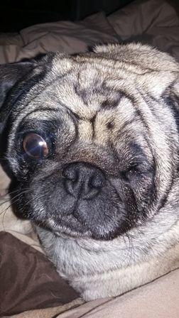 Sponsor China Sioux City Iowa Pug Rescue Pugs Pug Toy