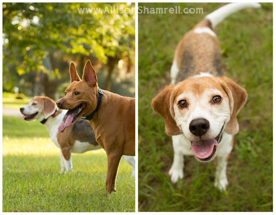 Pit Lab Beagle Mix Pitbull Mix Pitbull Lab Mix Cute Dogs