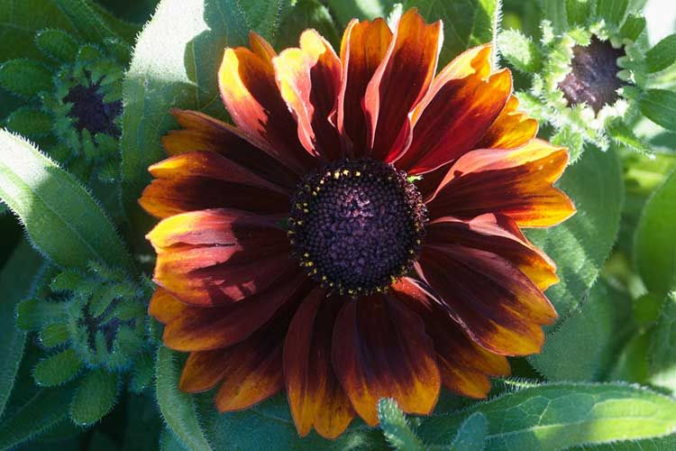Black Eyed Susan How To Grow And Care For Rudbeckia