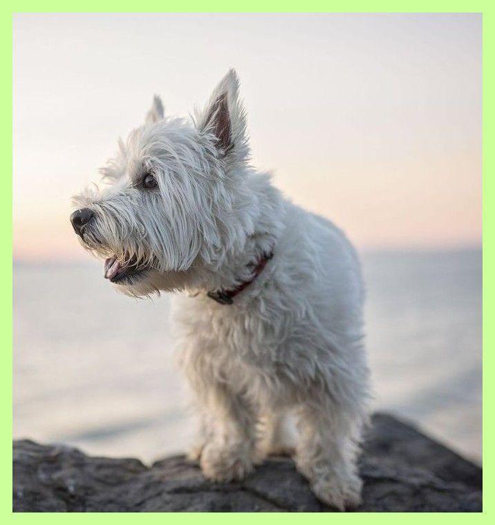40 West Highland Terrier west highland terrier west highland terrier west highland terrierMore Than 40 West Highland Terrier west highland terrier west highland terrier w...