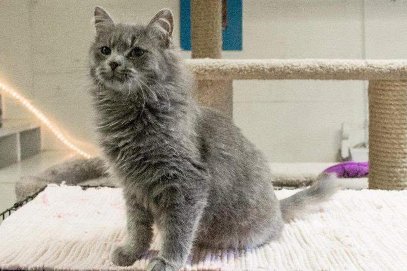 Meet Kaye A Petfinder Adoptable Domestic Long Hair Cat Roanoke Tx Kaye Kaye Is Very Beautiful Persian Mix Grey Tabby She Tabby Cat Serious Cat Cat Pics