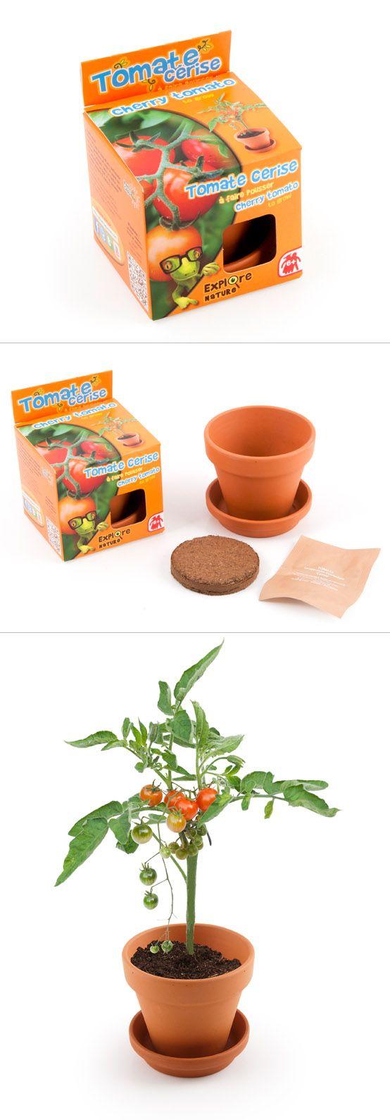 Graines de tomate cerise en pot de culture pour enfants s me cultive patiente et go te tes - Tomate cerise en pot ...