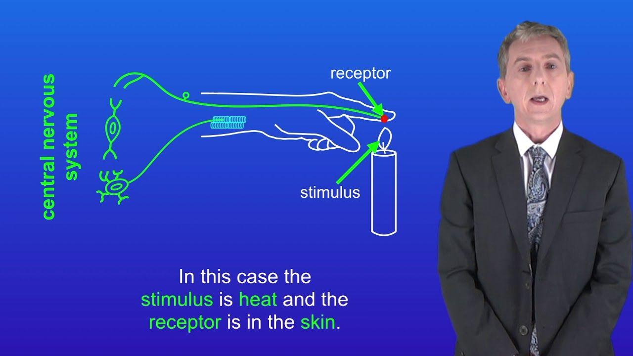 GCSE Science Biology (91) The Nervous System Gcse
