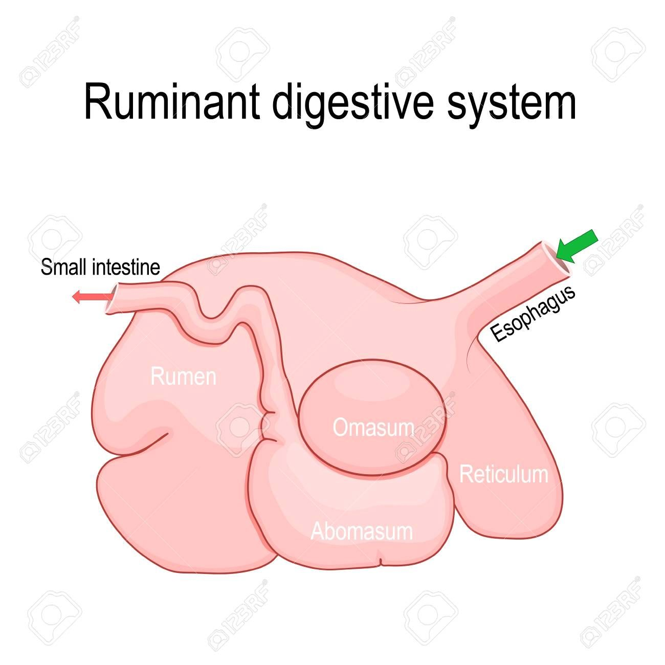 Ruminant Digestive System Ruminants Stomach Have Four