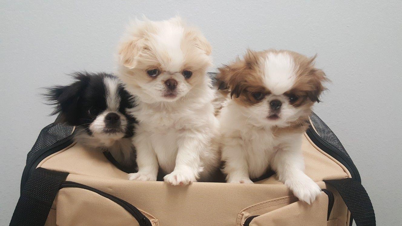 Japanese Chin Puppies Walker S Chins Japanese Chin Puppies