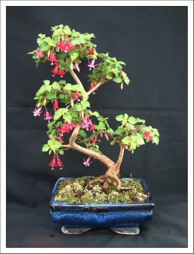 Fuchsia Bonsai : fuchsia, bonsai, Bonsai, Garden, Fuchsia, Hanegem, Garden,, Tree,