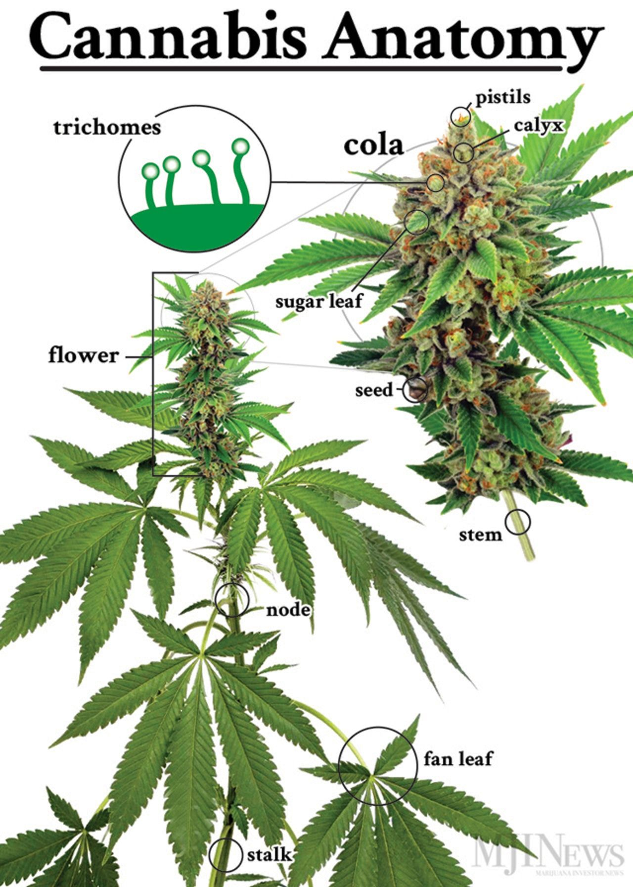 Marijuana sold on the street usually consists of flowers; government ...
