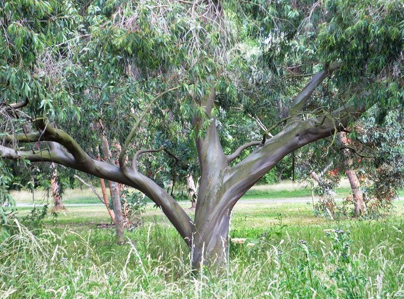 eucalyptus  stellulata  black  sally is a high altitude tree found in south eastern  australia