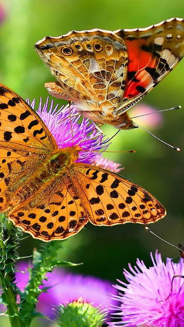 butterflies_flying_multicolored_colorful_ vadaka