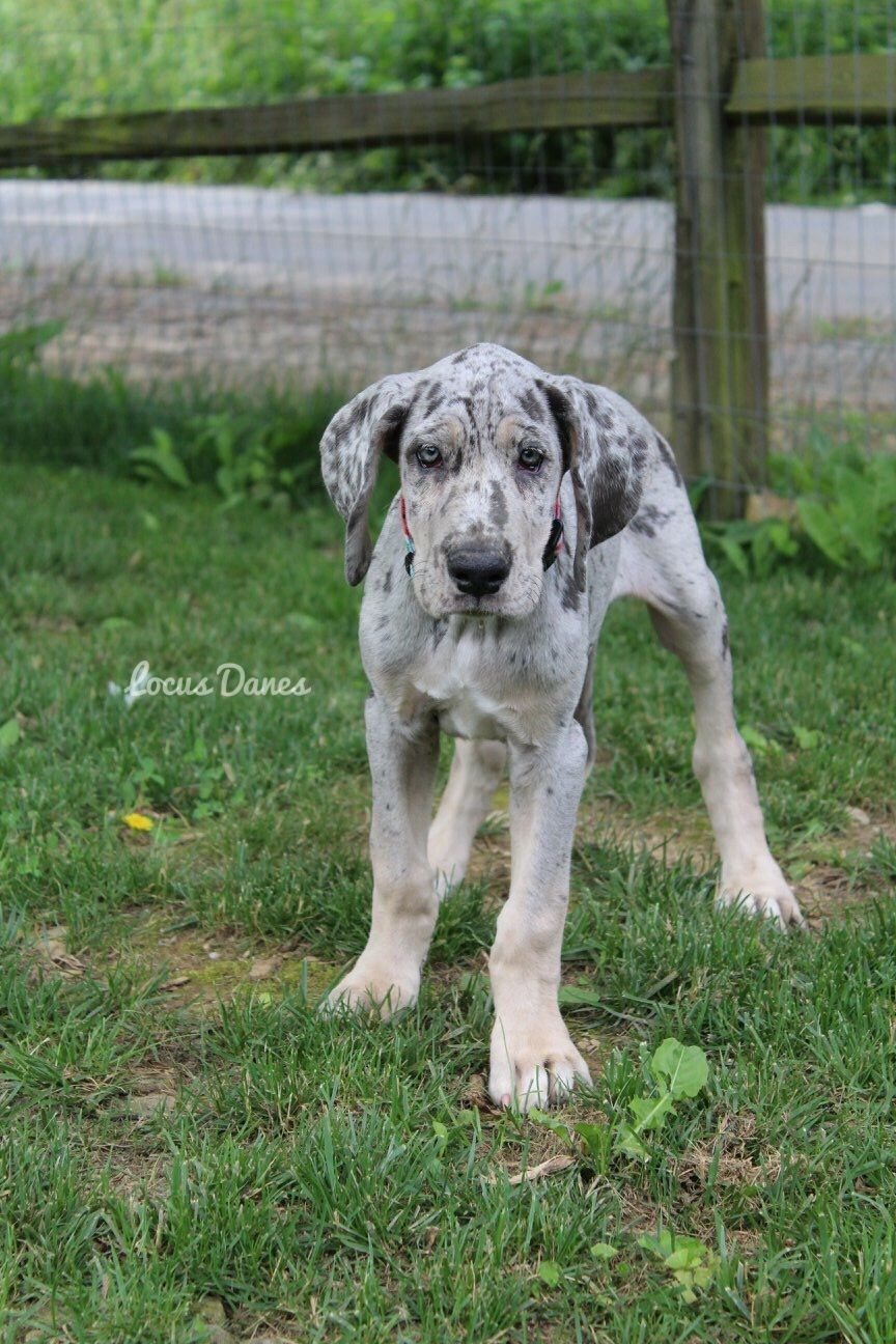 Locus Danes Leidy Uncommon Blue Merle Tan Point Great Dane Dogs