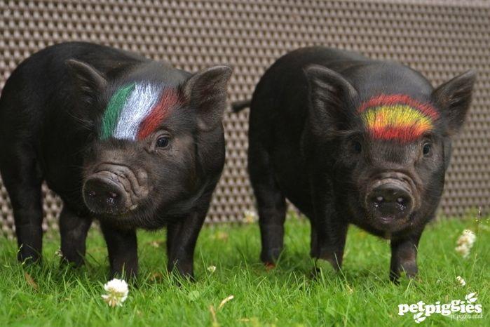 micro pig Euro 2012 football shot