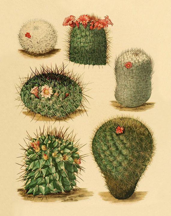 Vintage cactus art print Antique prints by AntiqueBotanicalArt, $10.00
