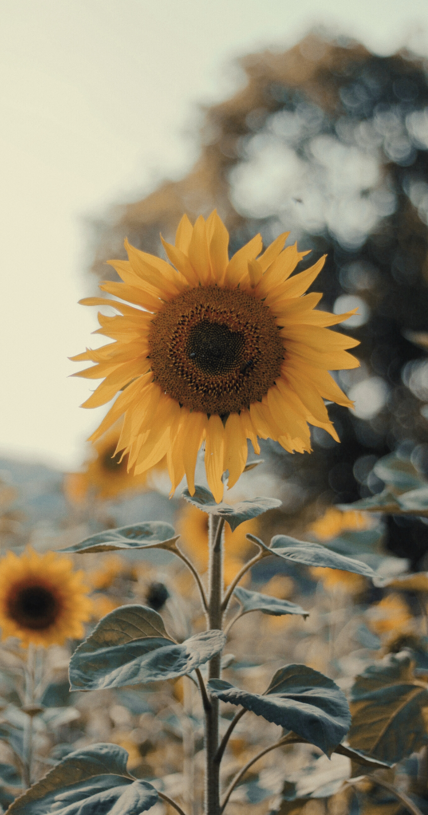 Wallpapers For Iphone In 2020 Sunflower Wallpaper Iphone