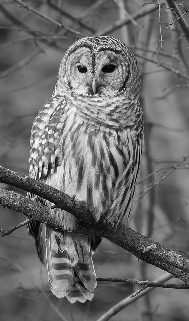 Barred Owl Black And White  Black, White Owl, Barred -8772