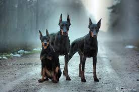 The gang   Doberman dogs, Doberman pinscher, Dogs