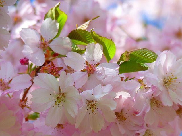 Flowering Cherry Tree Flowering Cherry Tree Flowering Trees Blossom Trees