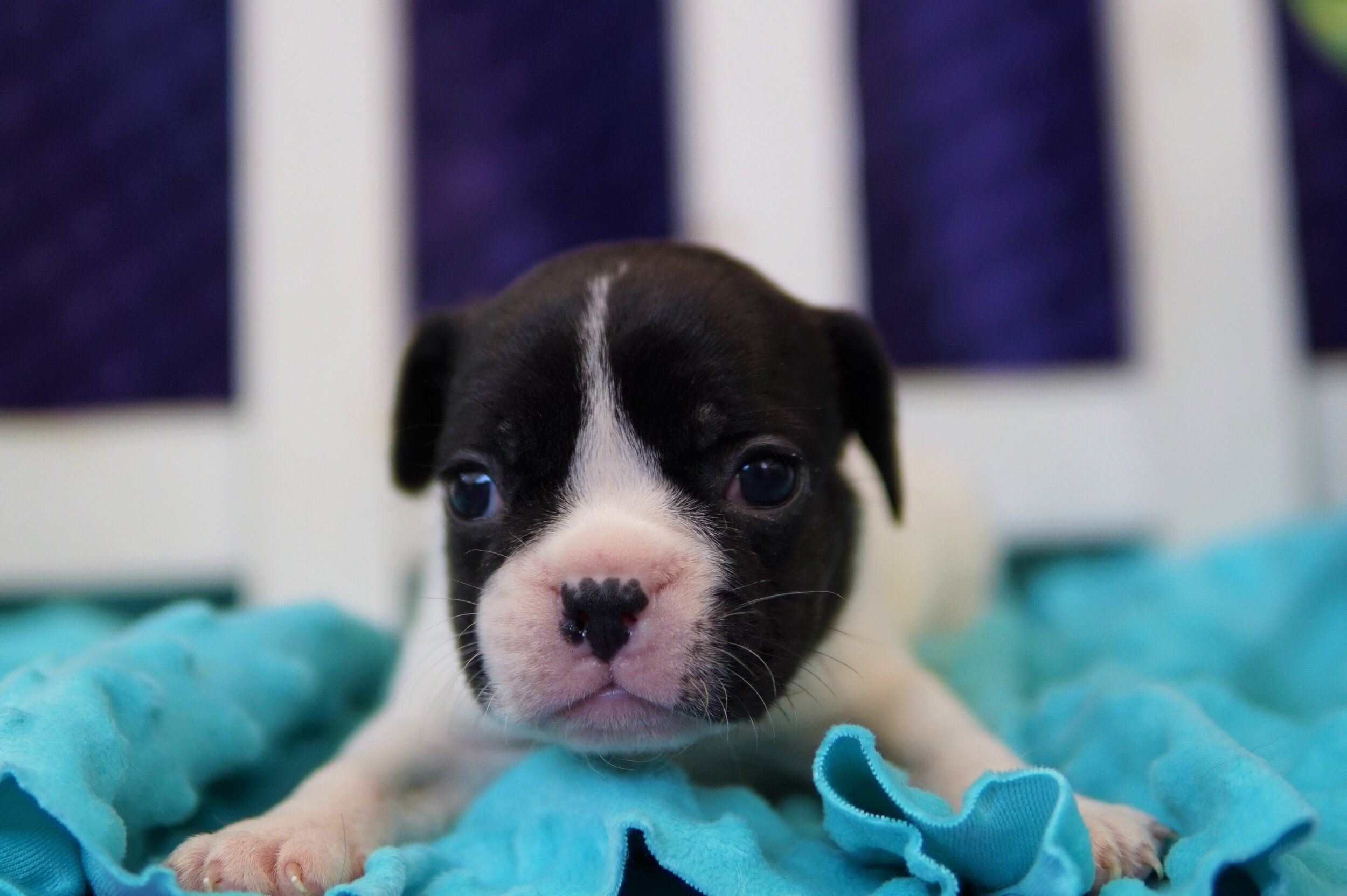 Puppies Avavable Heritage Puppies In 2020 Bulldog Puppies Puppies French Bulldog Puppies