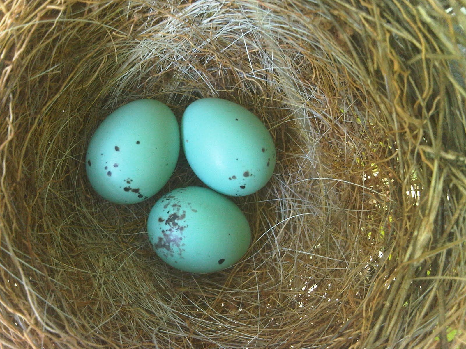 blue jay eggs - HD1600×1200