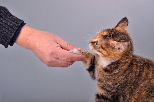 How To Train Your Cat To Shake Hands Pet Parent Cats Food Animals