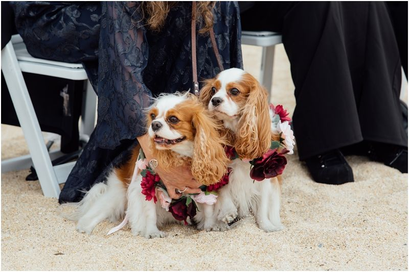 Sibling puppies as wedding guests Beach wedding