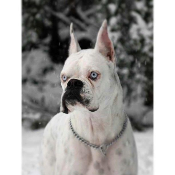 Stunning White Boxer No I Don T Condone Ear Cropping This Isn