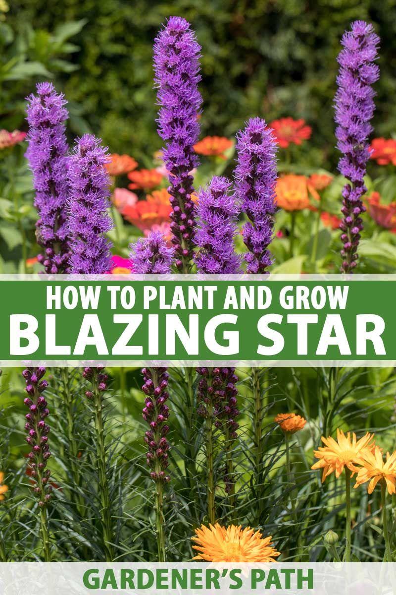 How To Plant And Grow Blazing Star Liatris Spicata Gardener S Path Purple Flowers Garden Blazing Star Flower Liatris