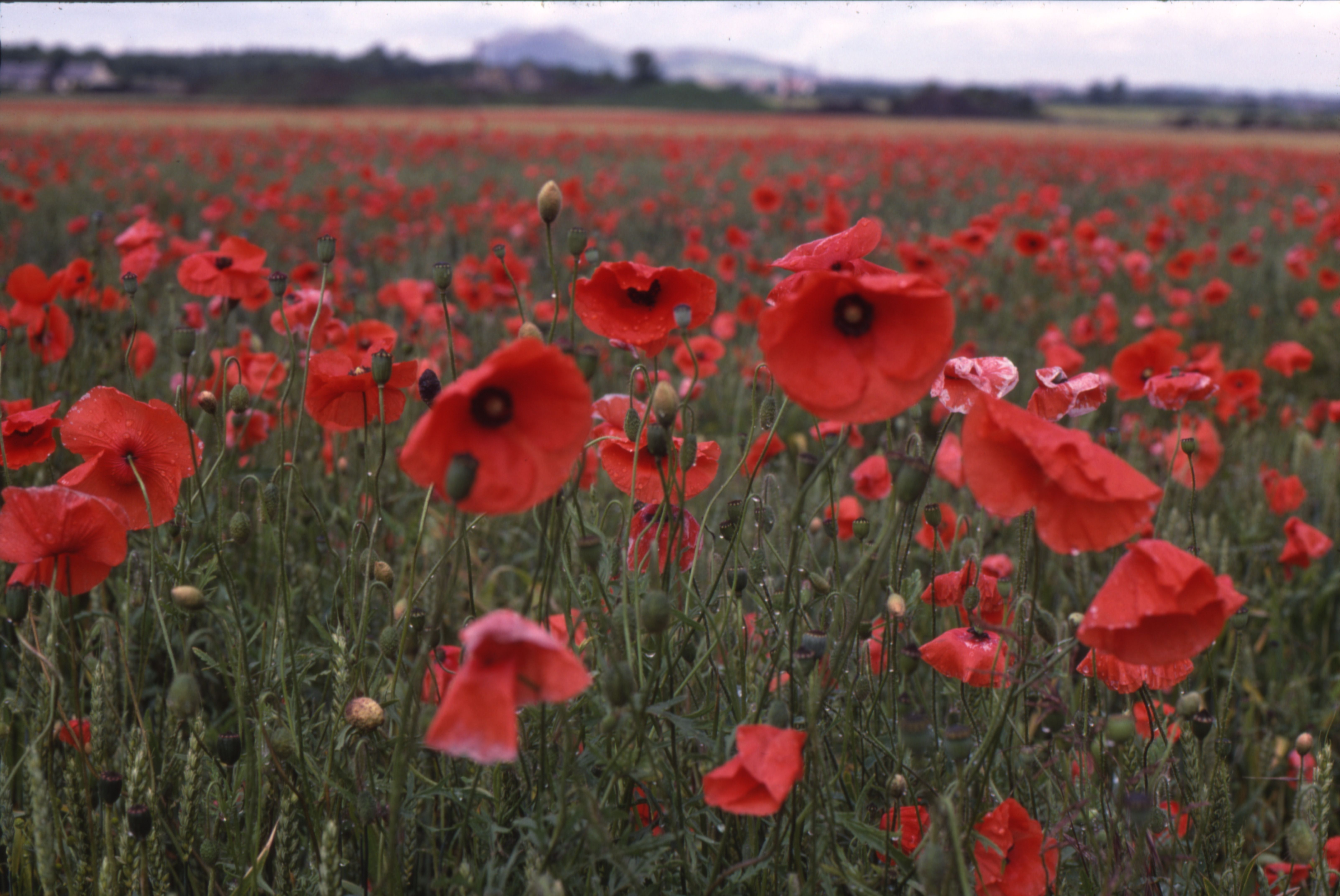 Poppies Poppies Pinterest Red Red Poppies And Poppies