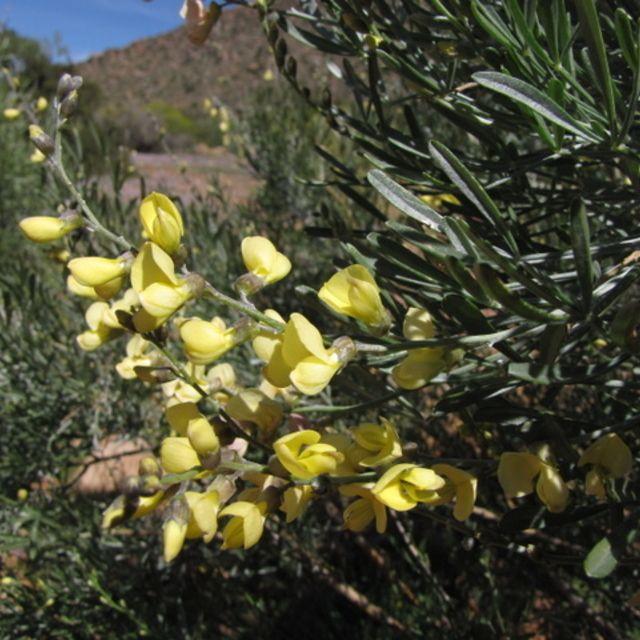 Lebeckia /Colobota Sericea    flowers        Silver Pea           Bloufluitjiebos/Vaalertjiebos       2-4 m